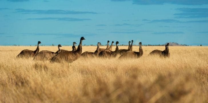 A group of emu's walking in line