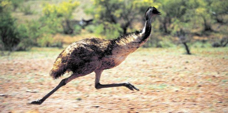 An emu on the run