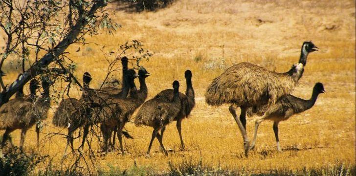 Emu's winning the battle against the Australian army