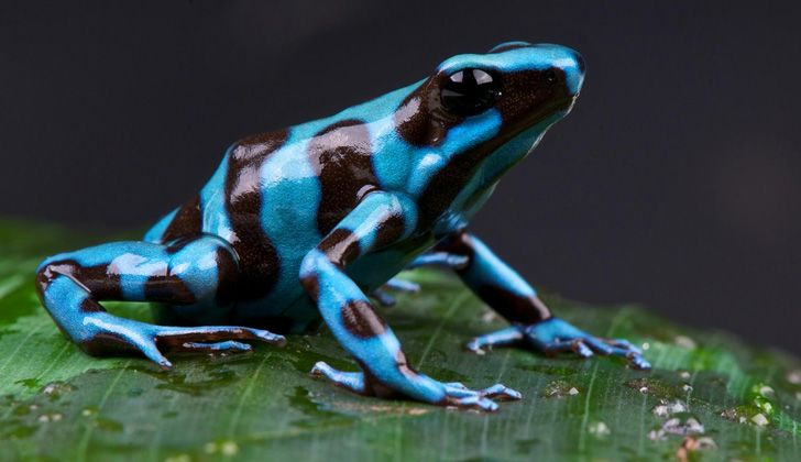 Blue and black poison dart frog on a leaf