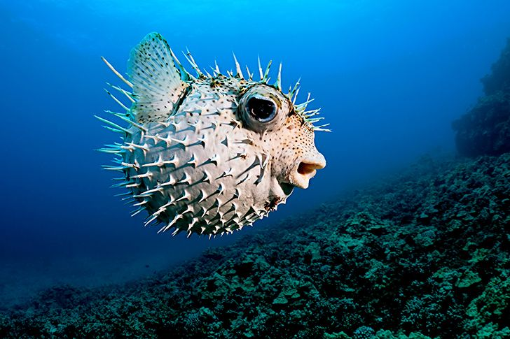 In Japan, chefs have to train for over two years in order to qualify to serve pufferfish.