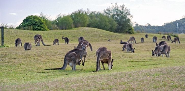 A group of kangaroos on a field
