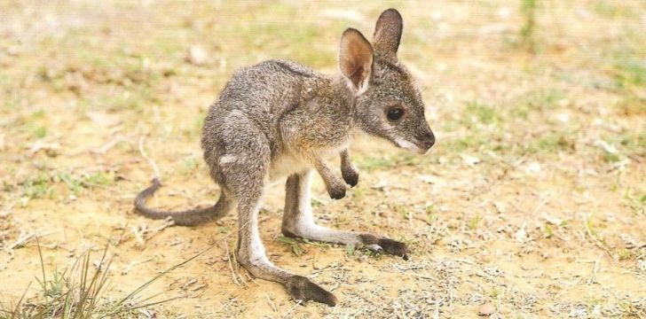A tiny little adorable joey baby kangaroo