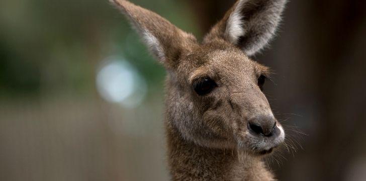 Face closeup of a kagaroo