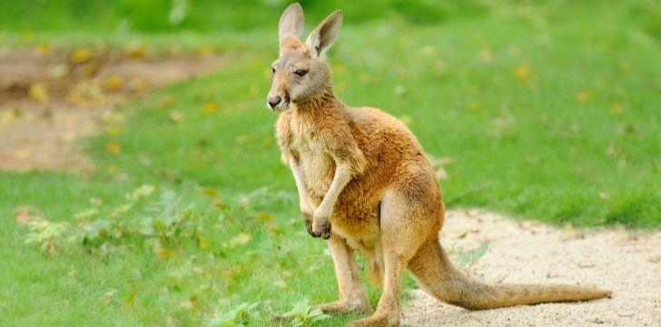 A pregnant kangaroo
