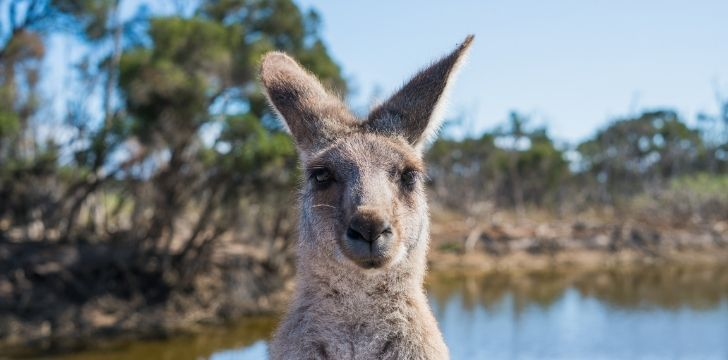 A kangaroo looking at the camera with a body of water behind