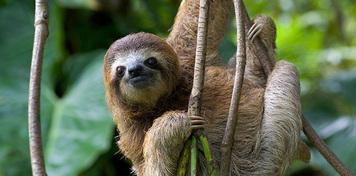 Sloths spend as little time possible moving, and even less on the ground.