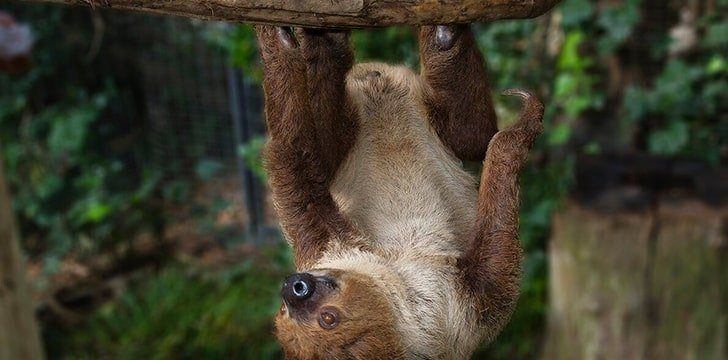 Two-toed sloths have three toes, not two.