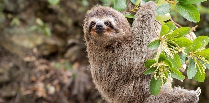 Modern day sloths are a shell of their former selves.