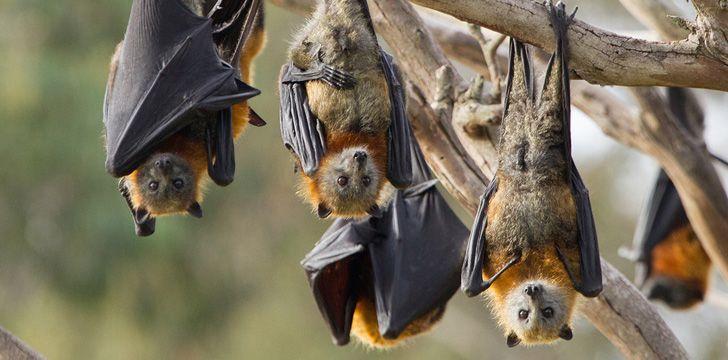 Coronavirus originally came from bats.