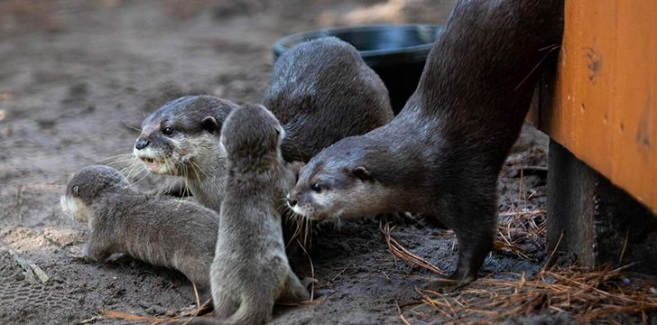 Many otter species are at risk of becoming extinct.