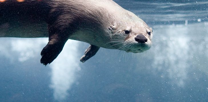 Otters can hold their breath for a really long time.