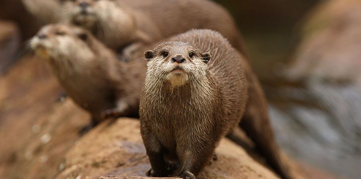 Otters have the densest fur of the animal kingdom.