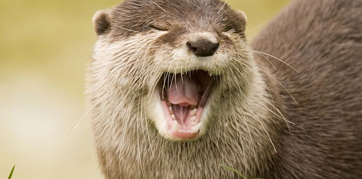 River otters rarely make their own homes.