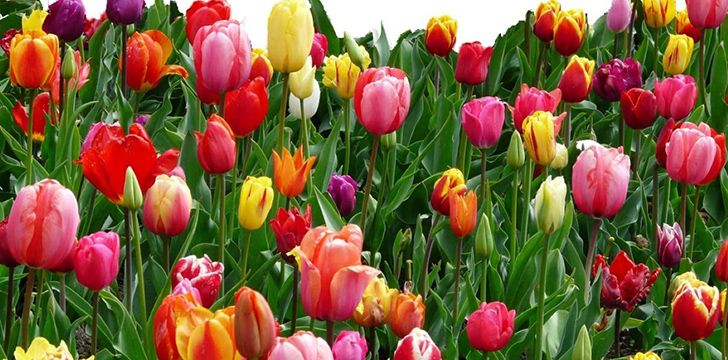 The different colors of tulips hold different meanings.