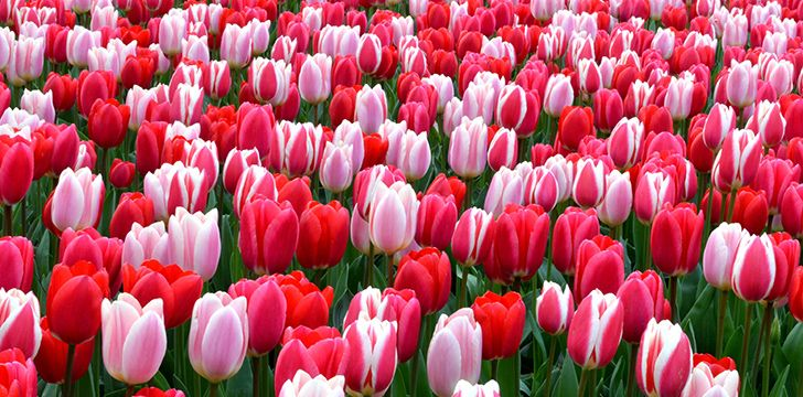 Incredible Facts about Tulips