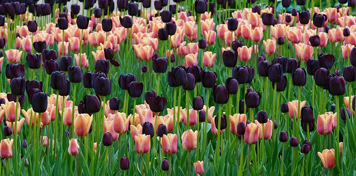 There are more than 3,000 different varieties of tulip!