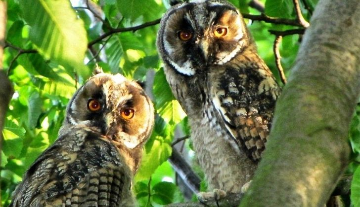 Two owls looking into the camera