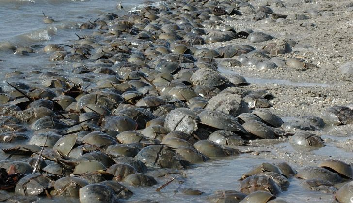 Many horseshoe crabs lined up on the beach.