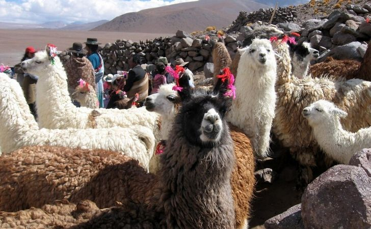 Llamas in the andes sporting colourful ribbons in their ears.