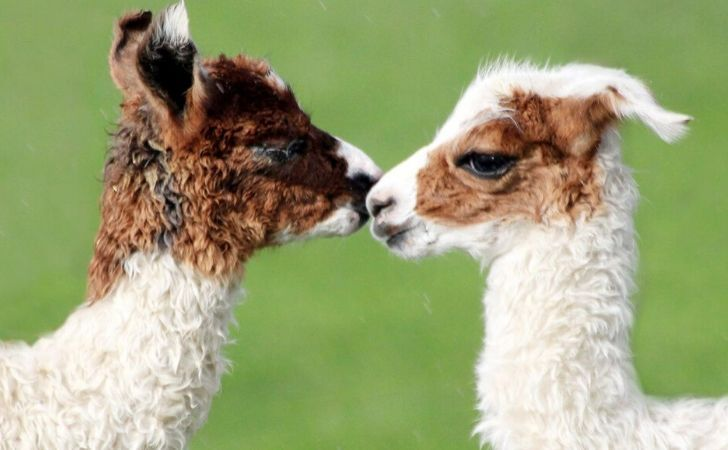 Two cute baby llamas giving each other a kiss.