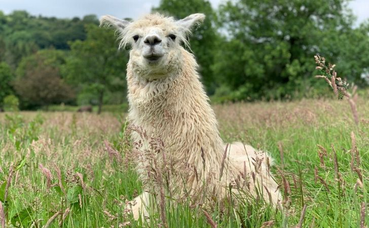 A llama sat on grass humming.
