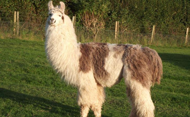 A shaggy looking llama.