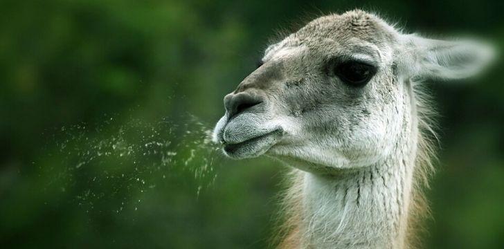 A llama spitting.