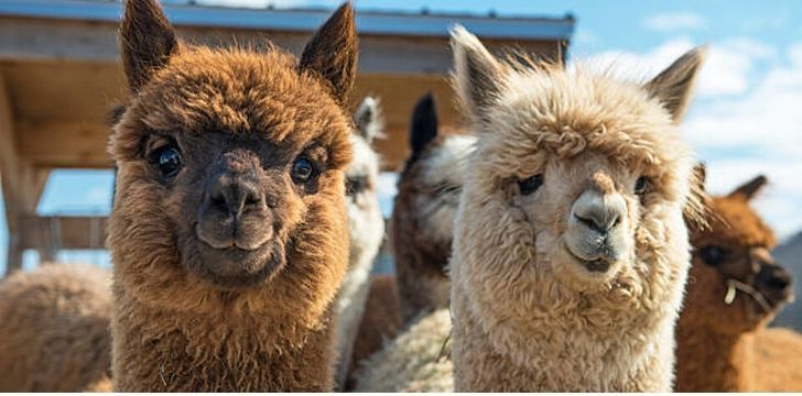 11 Likable Facts About Llamas.