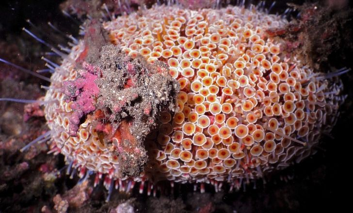 The Flower Urchin, the most toxic urchin of the seas