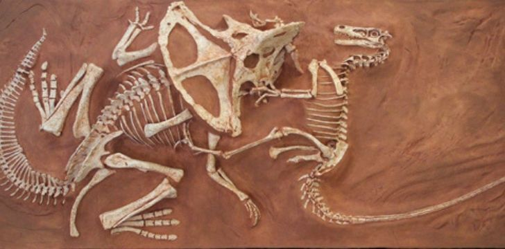 Velociraptor fossil fighting another dinosaur.