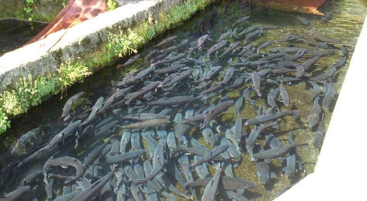 Rainbow trout fish farm