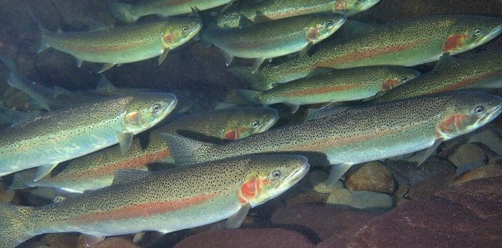 A group of rainbow trout swimming