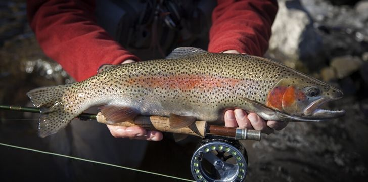Rainbow trout live in over 45 countries