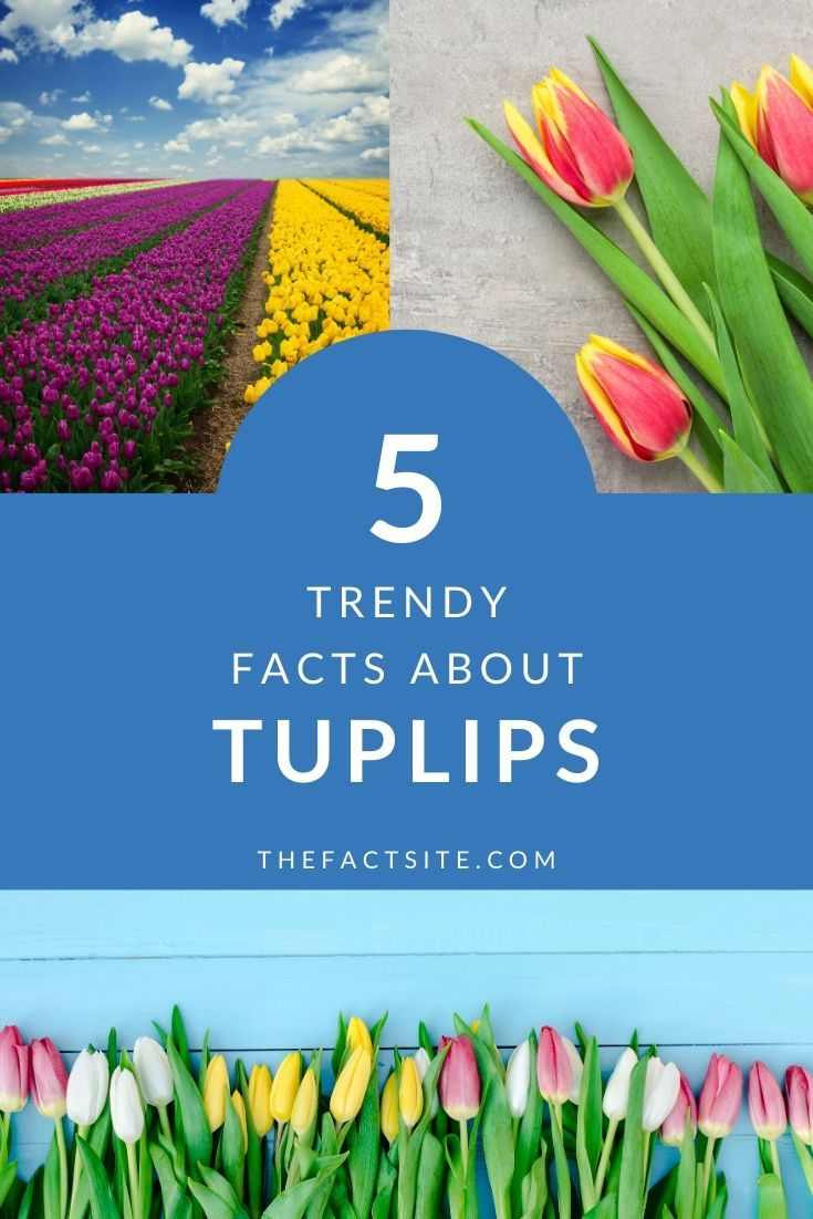 5 Trendy Facts About Tulips
