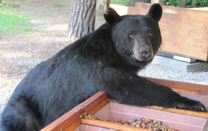 A bear eating on a farm