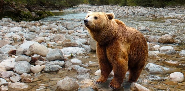A bear standing in a shallow river