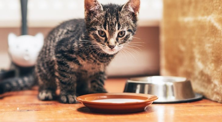 A cat standing over an orange bowl of milk