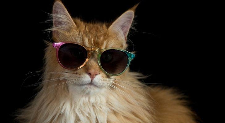 A beige cat wearing sunglasses