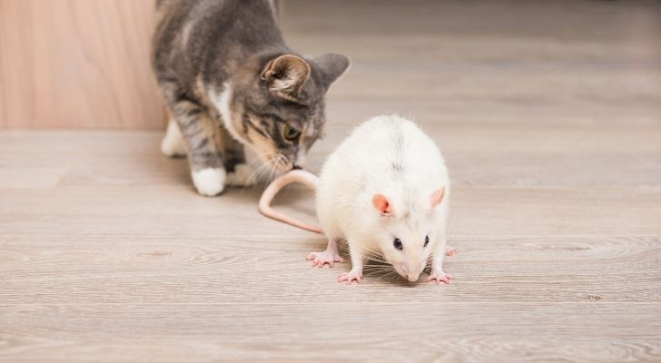 A cat sniffing a white rat