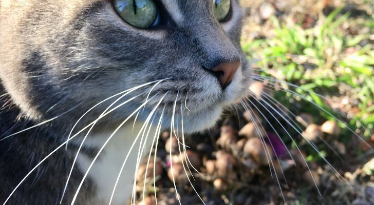 A gray cat with its whiskers pointing downwards