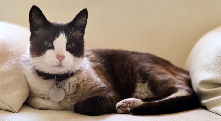 Black & White cat wearing a collar