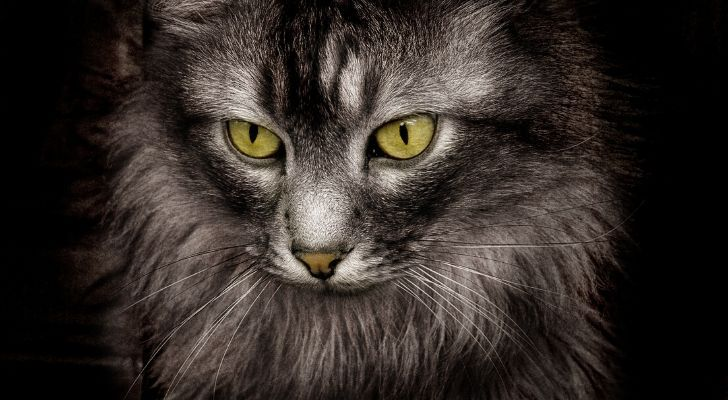 A closeup of a majestic cat staring downwards on a dark background