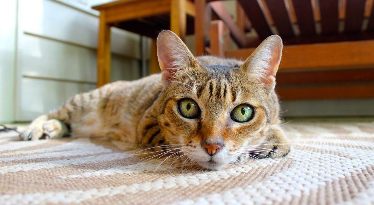 A tiger looking cat with bright green eyes laid on the floor