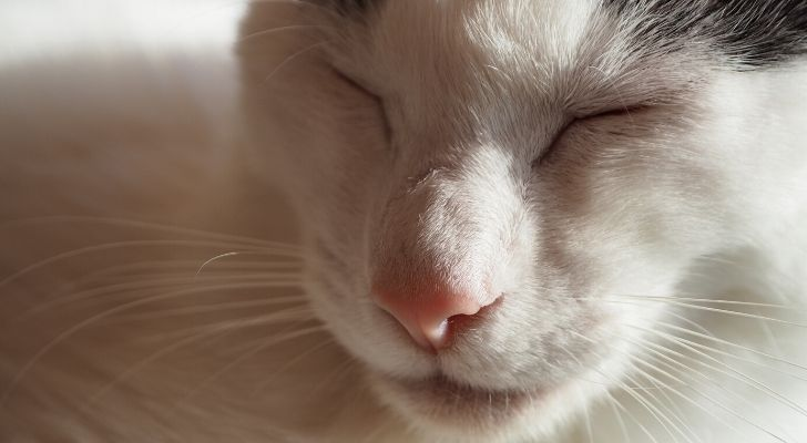 A white cats face with its eyes closed