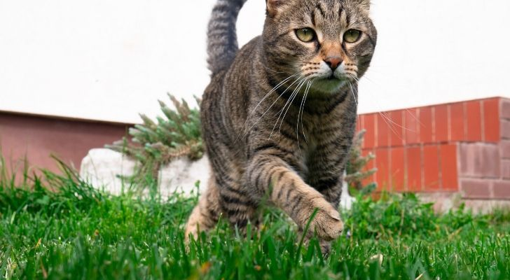 A cat lightly jogging on luscious green grass