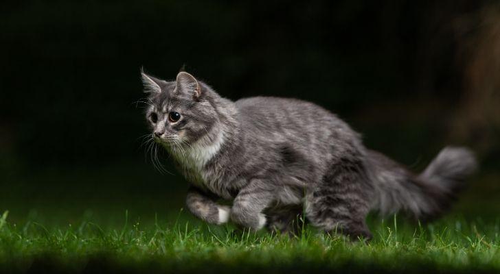 A gray cat running through green grass