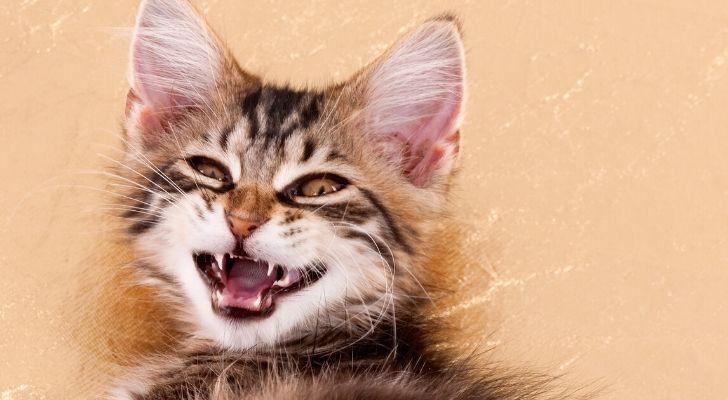 A kitten showing its razor sharp teeth