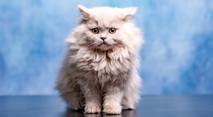 A fluffy white cat sat staring at the camera with a cloudy background