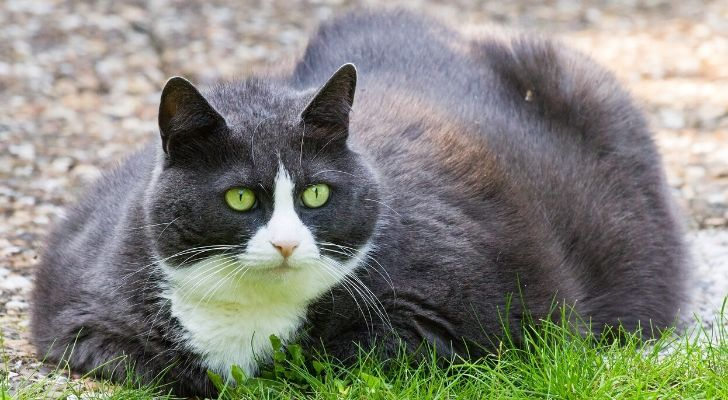 An obese black and white cat sat on the grass